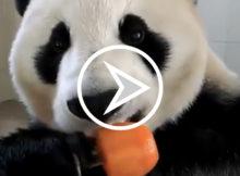panda met ijsje